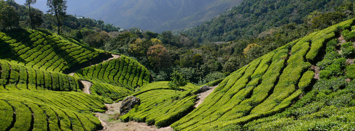 Top Places to Visit India Tea Plantations