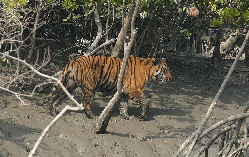 Sundarbans National Park (designated in 1987)